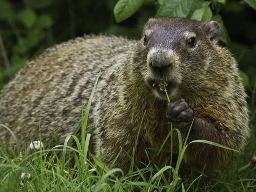 groundhogs-facts